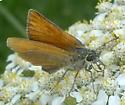 Tan Skipper - Thymelicus lineola