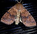 Bicolored Sallow Moth - Hodges #9957 - Sunira bicolorago