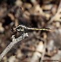 Dragonfly - Libellula incesta - female