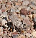 Arroyo Grasshopper - Heliastus benjamini