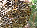 unknown social wasps - Polistes dominula