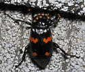 Black beetle with four red patches - Nicrophorus