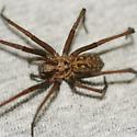 Greater European House Spider - Eratigena atrica - female