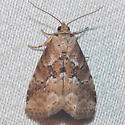 9038 White-lined Graylet - Hyperstrotia nana
