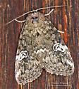 Noctuidae - Anterastria teratophora