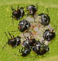 stink bug nymphs - Chinavia hilaris