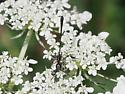 Long bodied wasp - Gasteruption