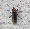 Red Headed Fly - Inopus rubriceps