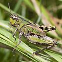 Chortophaga or Chimarocephala? - Chimarocephala pacifica - female