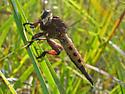 Robber fly - Promachus hinei - female