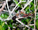Saddlebag Dragonflies - Tramea carolina - male - female
