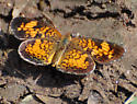 Phyciodes tharos - Pearl Crescent - Hodges#4481 - Phyciodes tharos - male