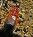 beetle - Cymindis
