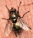 blow fly - Bellardia vulgaris - male