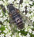 Horse Fly  - Stonemyia rasa