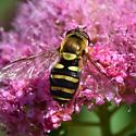 Syrphid fly  - Syrphus opinator