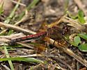 female band-winged meadowhawk - Sympetrum semicinctum - female