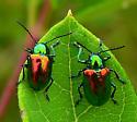 Beetles - Chrysochus auratus