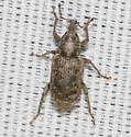 Curculionidae - Listronotus