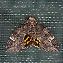 Locust Underwing Moth - Euparthenos nubilis