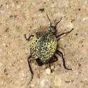 Beetle - Cysteodemus armatus