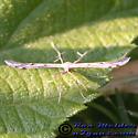 Plume Moth - Pselnophorus belfragei
