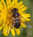 Hoverfly Species - Eristalis tenax