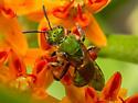 Green Sweat Bee - Agapostemon sericeus