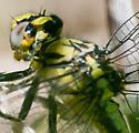 Horned clubtail - Arigomphus cornutus - female
