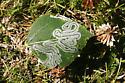 Common Aspen Leaf Miner - Phyllocnistis populiella