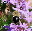 bumble bee mimic? - Anthophora - female
