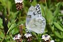 Butterfly - Pontia protodice - female