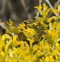 Mating Cauliognathus - Chauliognathus lewisi - male - female