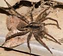 spider041815 - Gladicosa gulosa - male