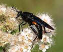 mydas fly - Mydas clavatus