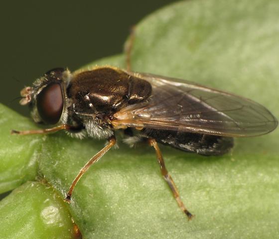 Cheilosia - female