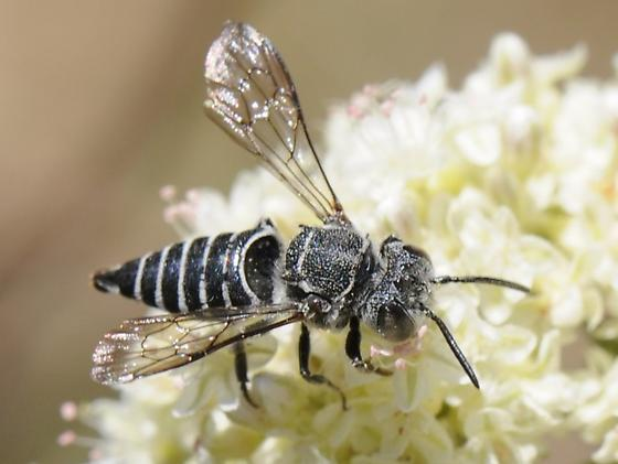 Hymenopteran - Coelioxys
