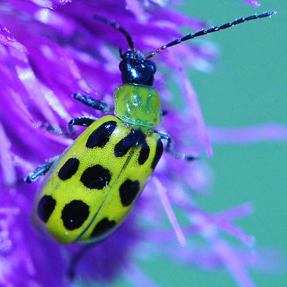 Diabrotica undecimpunctata - Spotted Cucumber Beetle - Diabrotica undecimpunctata