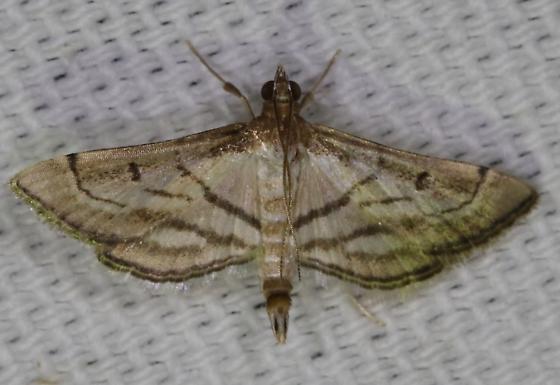 Cnaphalocrocis trapezalis - Trapeze Moth - Marasmia cochrusalis