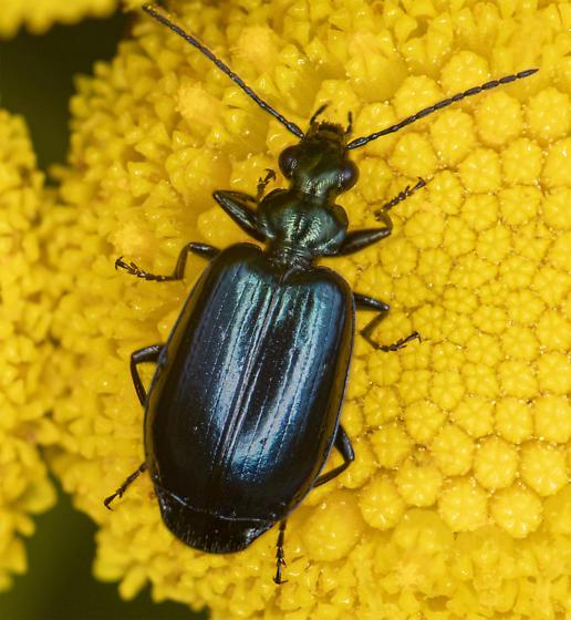 carabidae - Lebia viridis