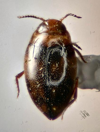 Dytiscidae  - Bidessonotus