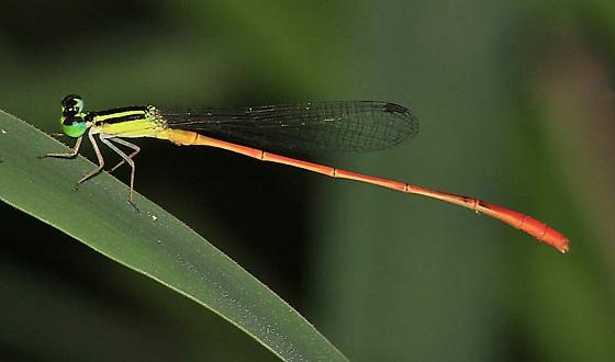 Red-tipped Swampdamsel Leptobasis vacillans - Leptobasis vacillans - male
