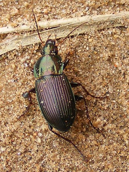 Woodland ground beetle? - Poecilus chalcites