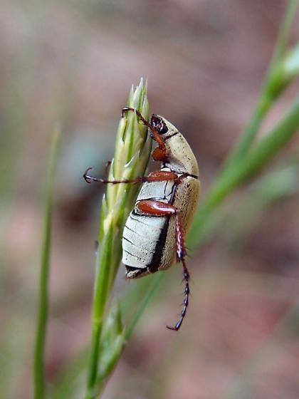 Macrodactylus sp? beetle - Macrodactylus uniformis