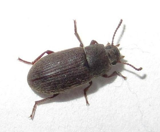 Beetle - Blapstinus histricus