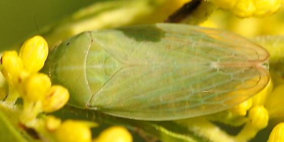 Hopper on goldenrod - Gypona melanota - female