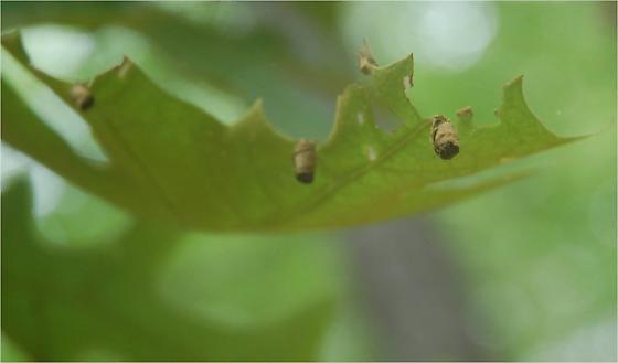 Quercus laevis leaf roller galls SA_G4 2015 4