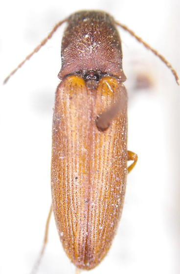 Ctenicera pygmaeus  - Corymbitodes pygmaeus