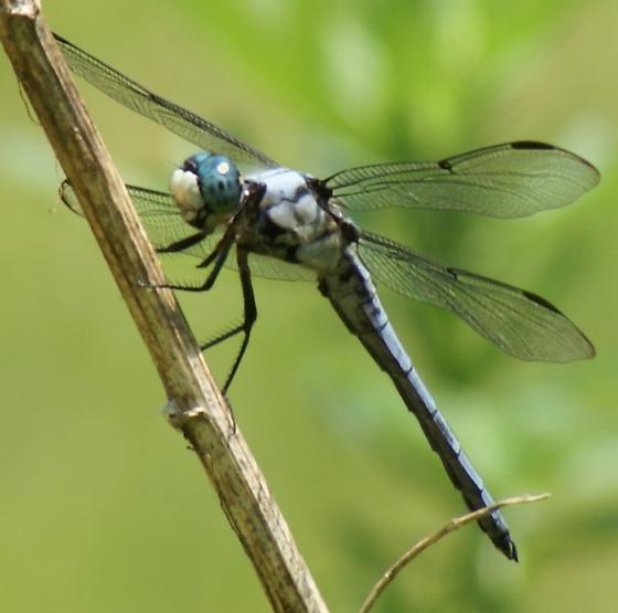 Libellula vibrans (Great Blue Skimmer), male - Libellula vibrans - male