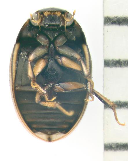 Hydrolphilidae, ventral - Cercyon praetextatus